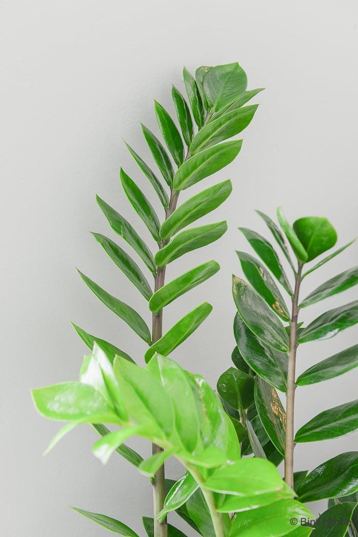 Mooi Wat Planten Doen Zamioculcas plant van de maand ©BintiHome-8