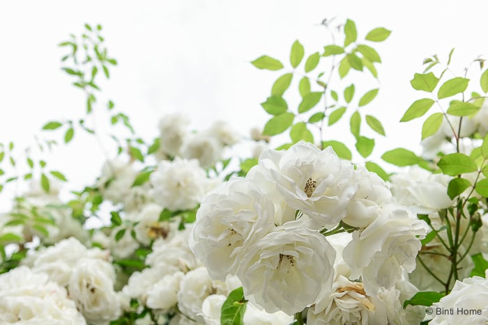 White roses from my garden at home ©BintiHome-2