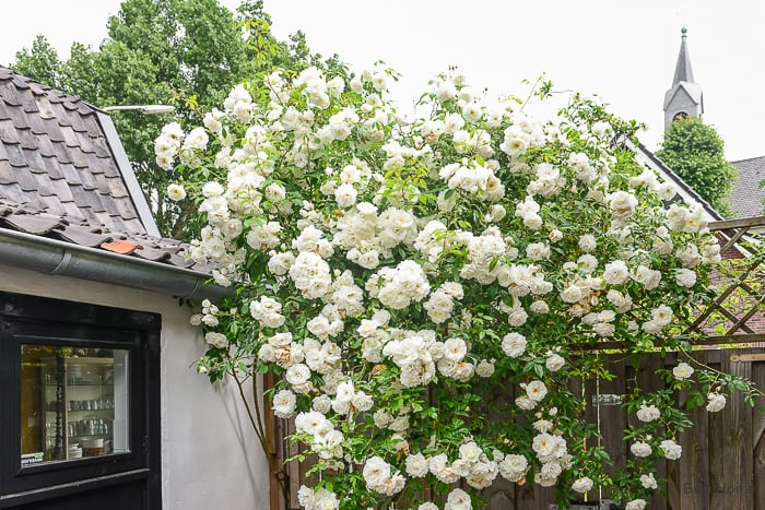 White roses from my garden seen from the kitchen ©BintiHome