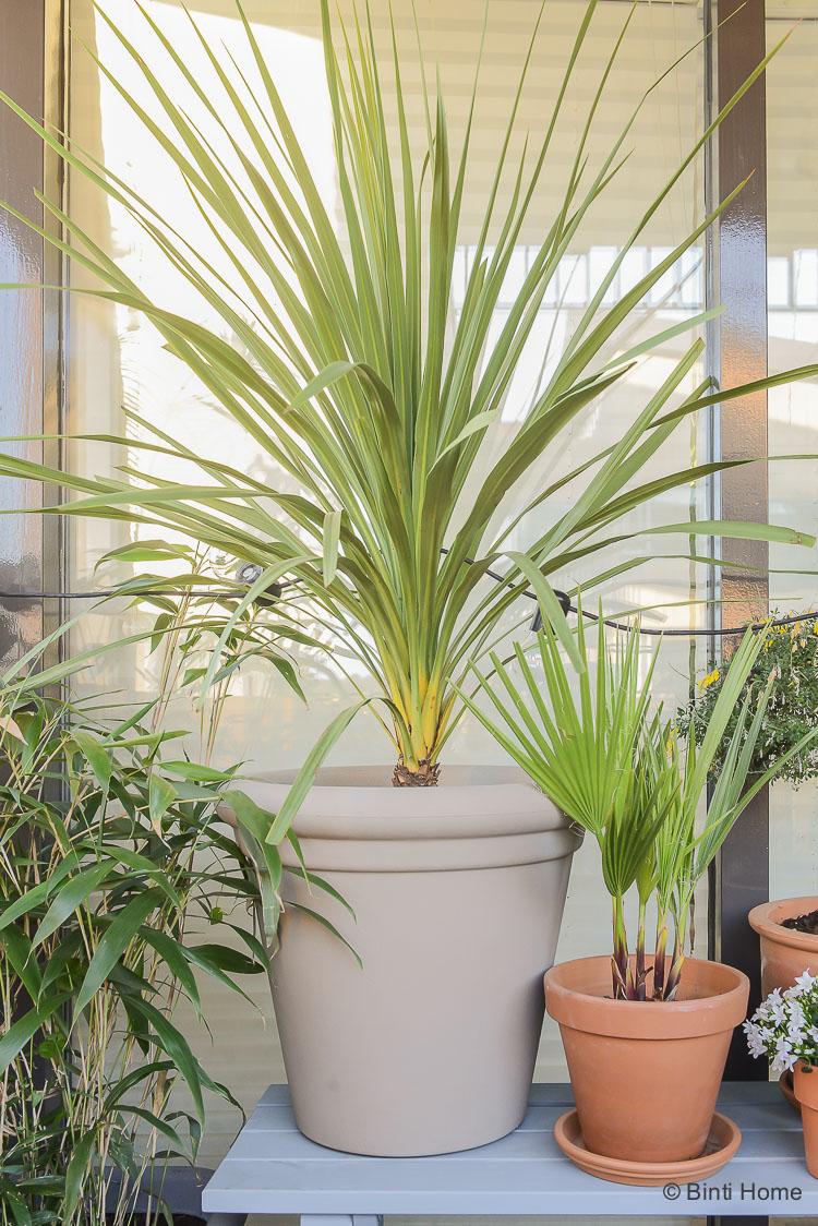 Balkon inspiratie klein balkon inrichten met veel planten Cordyline koolpalm Mooiwatplantendoen ©BintiHome
