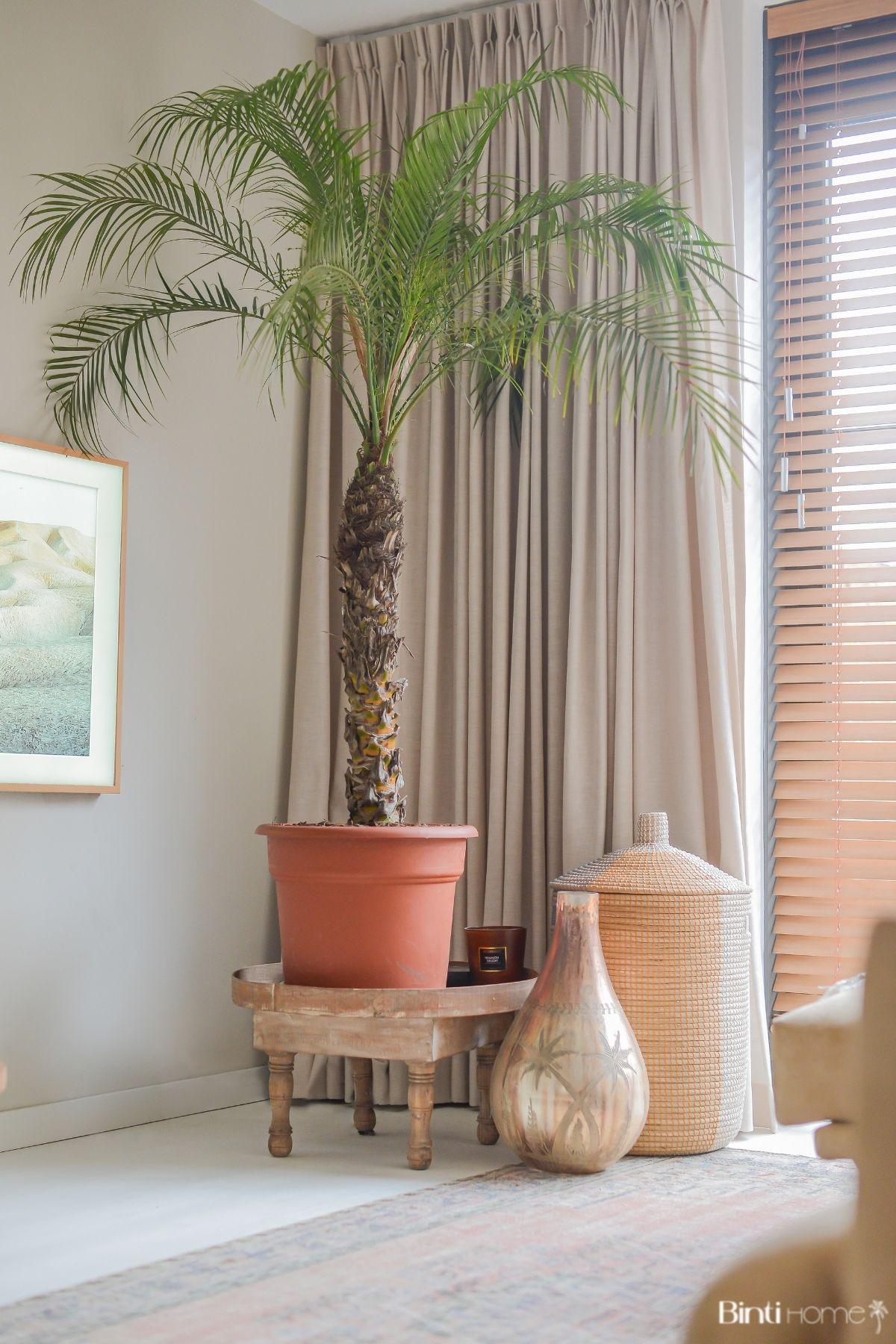 Phoenix Roeblelini palmboom als kamerplant in huis